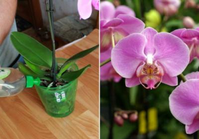 Орхидеята започва да цъфти целогодишно след тази елементарна процедура в домашни условия!